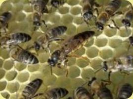 Méhek és méhkirálynő
