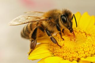 Táplálkozó méh